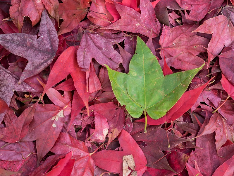 A GREEN LEAF ON A PILE OF RED LEAVES